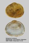 Sphaerium corneum