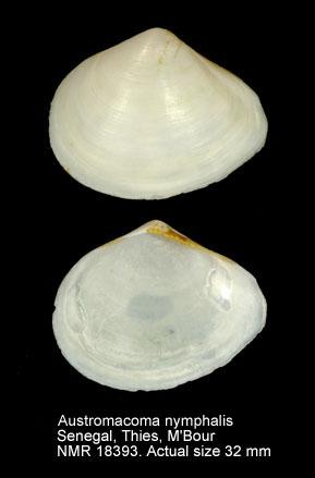 Austromacoma nymphalis