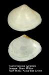 Tellina nymphalis