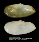Ardeamya petitiana