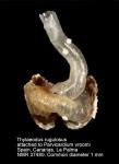 Thylaeodus rugulosus