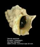 Vasula speciosa