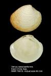 Venus cassinaeformis