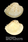 Venus subrosalina