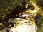 Microlipophrys adriaticus