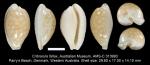 Cribrarula fallax