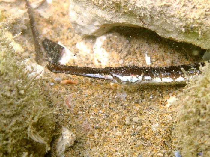 Syngnathus taenionotus (male)