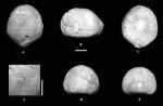 Pygolampas edita, Holotype