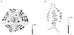 Pygolampas edita, Plating pattern