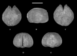 Salvaster roberti, Holotype
