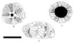 Goniopygus annularis
