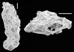 Ammoscalaria tenuimargo New Zealand