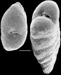 Spiroplectinella proxispira New Zealand