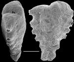 Spirotextularia fistulosa New Zealand