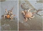 Helmkrab (Corystes cassivelaunus) - vrouwtje met eitjes bemonsterd aan boord van de RV Simon Stevin (2012.10.24)