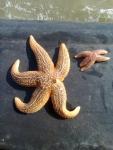 2e bach biologie - KULAK aan boord - gewone zeester - Asterias rubens