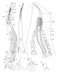 Aculeorhynchus glandulis