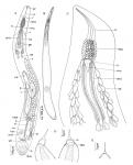 Aculeorhynchus glandulis