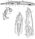 Haplopharynx rostratus
