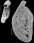 Massilina granulocostata New Zealand