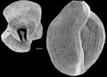 Quinqueloculina bicornis New Zealand