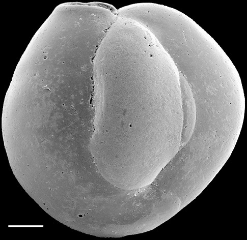 Quinqueloculina suborbicularis New Zealand