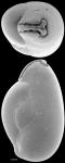 Triloculina chrysostoma New Zealand