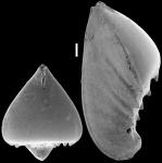 Saracenaria spinosa New Zealand