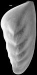 Saracenaria italica New Zealand
