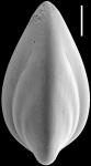 Saracenaria latifrons New Zealand