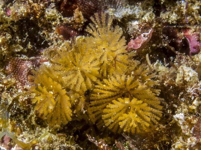 Bryozoan. Bugula sp