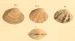 <i>Venus virginea</i> Linnaeus, 1767 </b><i>sensu</i> Philippi, 1849Illustrated on pl. VIII fig. 2-4