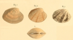 Venus virginea Linnaeus, 1767 sensu Philippi, 1849Illustrated on pl. VIII fig. 2-4