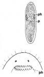 Pseudograffilla arenicola