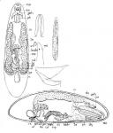 Hangethellia calceifera