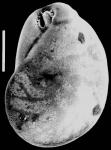 Evolvocassidulina orientalis New Zealand
