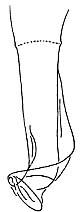 Provortex balticus