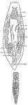 Provortex tubiferus