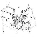 Cicerina brevicirrus