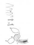 Cicerinina brevicirrus