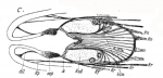 Ethmorhynchus anophthalmus