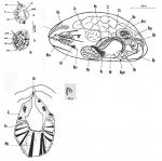 Nannorhynchides corneus