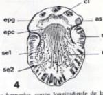 Nannorhynchides vividus