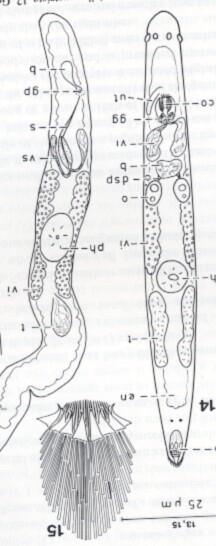 Paracicerina deltoides