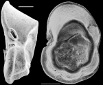 Planulinoides biconcavus New Zealand