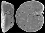 Cibicides dispars New Zealand