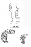 Pocillorhynchus minutus