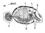 Toia calceformis
