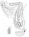 Xenocicerina gracilis