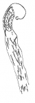 Zonorhynchus salinus